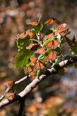 Riserva della biosfera delle farfalle monarca, michoacan, messico — Foto Stock