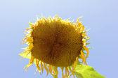 Zanik słonecznik — Zdjęcie stockowe