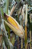 Cob of corn — Stock Photo