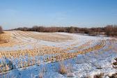Polu zbioru kukurydzy — Zdjęcie stockowe