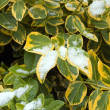 Euonymus fortune — Stock Photo #11634004