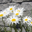 Leucanthemum maximum — Stock Photo