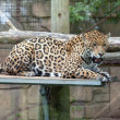 Relaxed jaguar — Stock Photo