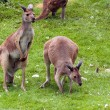 Kangaroos — Stock Photo #11635123