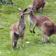Red Kangaroos — Stock Photo #11635170