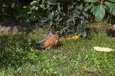 American robin — Stock Photo