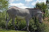Grevy's zebra — Stock Photo
