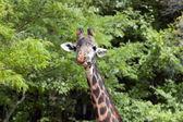 Giraffe — Zdjęcie stockowe