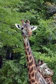Masai Giraffe — Zdjęcie stockowe