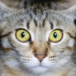 Common breed cat, with frightened eyes — Stock Photo