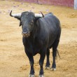 Постер, плакат: Powerful Spanish bull in a bullfight Matador in Madrid bullring