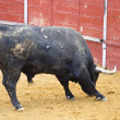 Stock Photo: Brave spanish bull waiting bullfighter
