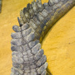 Close-up of crocodile tail with skin details — Foto de Stock