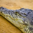Stock Photo: Closeup of crocodile
