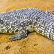Crocodile resting - Stock Photo