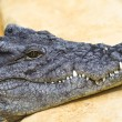 Dangerous alligator with closed mouth — Stock Photo