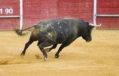 Brave Spanish bull in a bullfight — Stock Photo