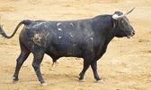 Spanish black bull in the bullring with sand — Zdjęcie stockowe