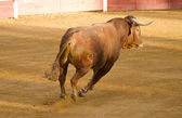 Spanish brown bull in the bullring with sand — Stock Photo