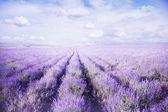 Fält lavendel mot blå himmel — Stockfoto