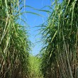 Sugarcane plantation — Stock Photo