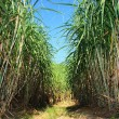 Stock Photo: Sugarcane plantation