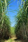 Şeker kamışı ekimi — Stok fotoğraf