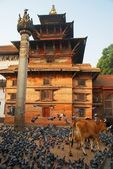 The temple and the holy cow in Kathmandu, Nepal — Stock Photo