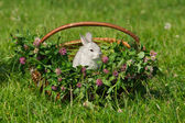 Gray rabbit sitting in the basket — Stock Photo
