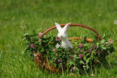 White rabbit sitting in the basket — Stock Photo