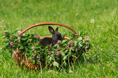 Black rabbit sitting in the basket — Stock Photo