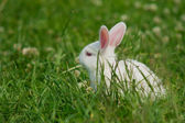 White rabbit on a green lawn — Stock Photo