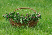 Basket of green clover — Stock Photo