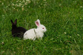 Black and white rabbits — Stock Photo