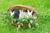 Rabbits in a basket — Stock Photo