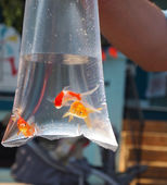 Goldfish Prize In Bag — Stock Photo