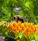 Bumble Bee on Butterfly Milkweed Flower — Stock Photo