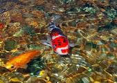 Koi peixes na lagoa de rocha — Foto Stock