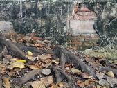 Banyan tree roots overgrown old brick wall — Stock Photo