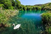 Vacker svan glider fram över öppet vattenytan av krka rive — Stockfoto