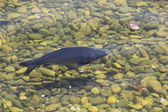 Carp in clear water — Stock Photo
