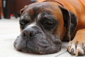 Sleepy boxer breed — Stock Photo