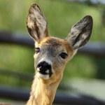 Portrait of a roe deer — Stock Photo