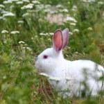 White rabbit — Stock Photo #11798754