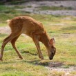 Roe deer calf — Stock Photo