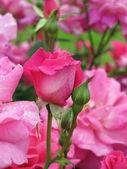Jardín de rosas — Foto de Stock