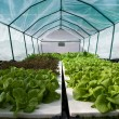 Vegetables growing on hydroponics — Stock Photo
