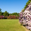 Rhododenron Flower Bushes in a Sunny Garden — Stock Photo #11010064