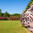 Rhododenron Flower Bushes in a Sunny Garden — Stock Photo