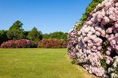 Rhododenron Flower Bushes in a Sunny Garden — Stock Photo